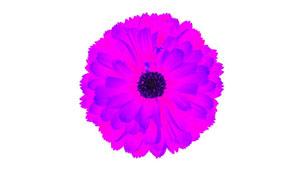 pinkish-purple flower