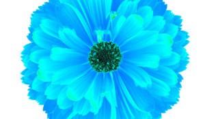 flower-bluish