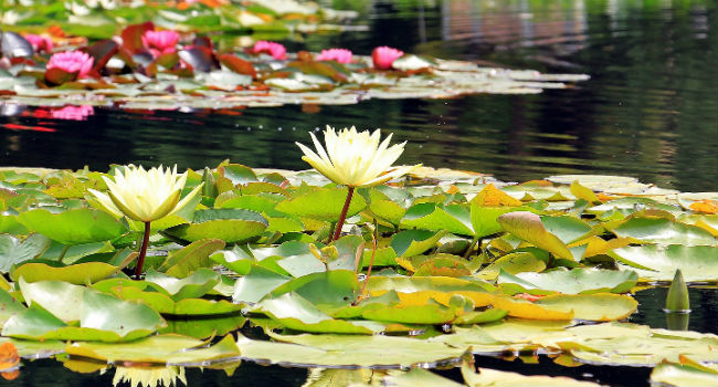 water-lilies-1540496_1920